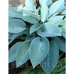 Хоста Hosta Canadian Blue