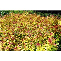 Спирея японская Spiraea japonica `Magic Carpet