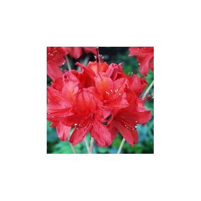Рододендрон, Rhododendron, подворье - Совместные покупки sp-vestniksadovoda