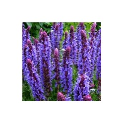 Шалфей дубравный Salvia nemorosa Blauhugel С2-С3