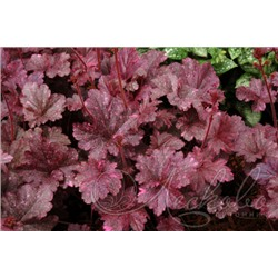 Гейхера Heuchera Midnight Rose