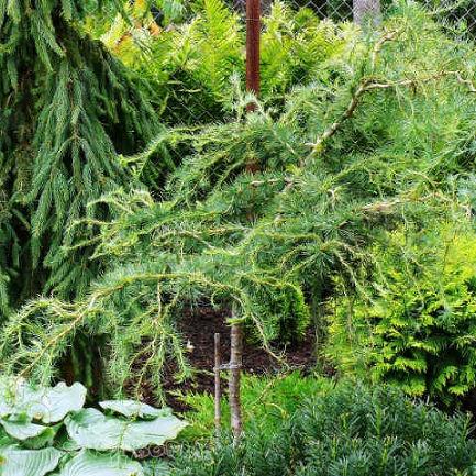 Конусы лиственницы Мельница Larix Decidua европейской лиственницы ... | 433x433
